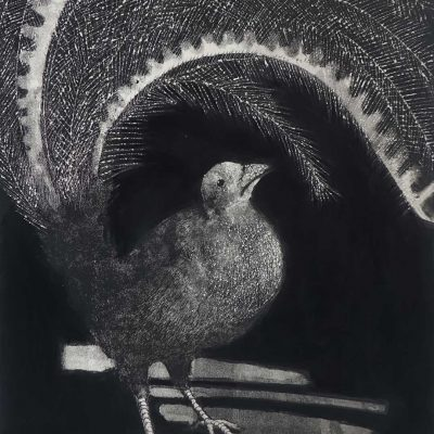 david preston lino cuts, linocut lyrebird